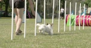 Ένα χαριτωμένο σκυλί που κάνει το σταυρό πέρα από τις κινήσεις με την οδύσσεια εκπαιδευτών του 4K FS700 7Q απόθεμα βίντεο