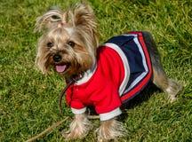 Ένα χαριτωμένο σκυλί σε μια μοντέρνη εξάρτηση και ένα κούρεμα Στοκ Φωτογραφία