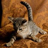 Ένα χαριτωμένο τιγρέ παιχνίδι γατακιών στον εκλεκτής ποιότητας καναπέ υφάσματος Στοκ Εικόνα