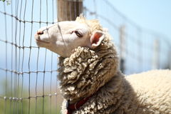Ένα χαριτωμένο όμορφο πρόβατο μαλακός-στραμμένος Στοκ Εικόνες