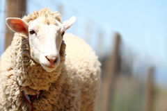 Ένα χαριτωμένο όμορφο πρόβατο μαλακός-στραμμένος Στοκ Φωτογραφίες