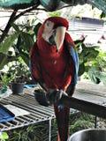 Ένα χαριτωμένο Macaws Στοκ εικόνα με δικαίωμα ελεύθερης χρήσης