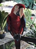 Ένα χαριτωμένο Macaws Στοκ Εικόνα