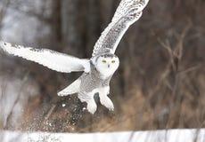 Ένα χιονώδες scandiacus Bubo κουκουβαγιών ανασηκώνει και πετά το χαμηλό κυνήγι πέρα από έναν χιονισμένο τομέα στην Οττάβα, Καναδά στοκ φωτογραφίες