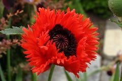 Ένα χνουδωτό κόκκινο λουλούδι παπαρουνών στοκ φωτογραφίες με δικαίωμα ελεύθερης χρήσης
