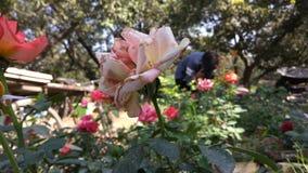 Ένα χρώμα εξασθένισε το λουλούδι μέσα - μεταξύ των ζωηρόχρωμων λουλουδιών Στοκ φωτογραφία με δικαίωμα ελεύθερης χρήσης