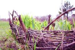 Ένα ψάθινο κρεβάτι με τα βλαστημένα φύλλα των τουλιπών και των ίριδων Ψάθινος φράκτης Φύση και άνοιξη Dacha ή πάρκο Στοκ Εικόνα
