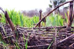 Ένα ψάθινο κρεβάτι με τα βλαστημένα φύλλα των τουλιπών και των ίριδων Ψάθινος φράκτης Φύση και άνοιξη Dacha ή πάρκο Στοκ Φωτογραφίες
