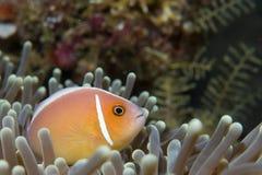 Ένα ψάρι κλόουν που εξετάζει σας στο Κεμπού Φιλιππίνες Στοκ φωτογραφία με δικαίωμα ελεύθερης χρήσης