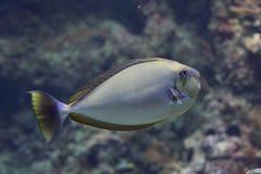 Ένα ψάρι με το κεφάλι βολβών Στοκ εικόνα με δικαίωμα ελεύθερης χρήσης