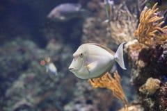 Ένα ψάρι μπροστά από ένα κοράλλι Στοκ φωτογραφίες με δικαίωμα ελεύθερης χρήσης