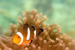 Ένα ψάρι Clow Anemone Στοκ Φωτογραφίες