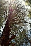 Ένα ψηλό ελκυστικό άφυλλο deodar δέντρο, Uttarakhand, Ινδία Στοκ Φωτογραφία