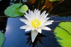 Ένα όμορφα άσπρα λουλούδι και ένα φύλλο λωτού στη λίμνη στοκ φωτογραφία με δικαίωμα ελεύθερης χρήσης