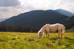 Ένα όμορφο άσπρο άλογο που βόσκει στο λιβάδι Καρπάθιο mounta Στοκ Εικόνα