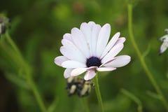 Ένα όμορφο άσπρο λουλούδι Στοκ εικόνα με δικαίωμα ελεύθερης χρήσης