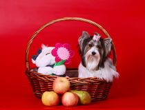 Ένα όμορφο άσπρο σκυλί κάθεται σε ένα καλάθι με ένα παιχνίδι και φρούτα Στοκ φωτογραφία με δικαίωμα ελεύθερης χρήσης