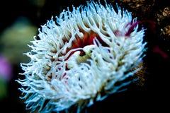 Ένα όμορφο άσπρο anemone θάλασσας Στοκ Φωτογραφία