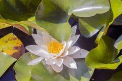 Ένα όμορφο ανθίζοντας ρόδινο υβρίδιο Nymphaea κρίνων νερού στοκ εικόνα