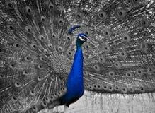 Ένα όμορφο αρσενικό Peacock παρουσιάζει το φτέρωμά του στοκ φωτογραφία