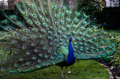 Ένα όμορφο αρσενικό peacock που παρουσιάζει ρόδα του Στοκ Εικόνες