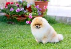 Ένα όμορφο γερμανικό σκυλί Pomeranian κάθεται σε έναν πράσινο χορτοτάπητα Στοκ Φωτογραφίες