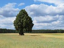 Ένα όμορφο δέντρο που στέκεται σε έναν κίτρινο τομέα σίτου με το δάσος στο υπόβαθρο στοκ εικόνα με δικαίωμα ελεύθερης χρήσης