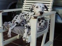 Ένα όμορφο δαλματικό σκυλί σε μια καρέκλα στοκ φωτογραφία