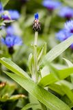 Ένα όμορφο ευθύ λουλούδι caltrop σε έναν τομέα στοκ εικόνες