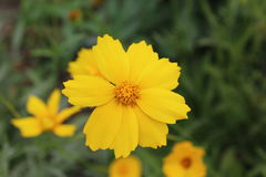 Ένα όμορφο κίτρινο λουλούδι με τα οδοντωτά πέταλα παρακαλεί το μάτι Στοκ φωτογραφίες με δικαίωμα ελεύθερης χρήσης