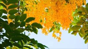 Ένα όμορφο κίτρινο λουλούδι συριγγίων της Cassia με τα πράσινα φύλλα ταλαντεύεται σε ένα θερμό αεράκι άνοιξη σε έναν βοτανικό κήπ απόθεμα βίντεο