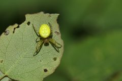 Ένα όμορφο κυνήγι stricto sensu cucurbitina Araniella αραχνών σφαιρών αγγουριών πράσινο για τα τρόφιμα underside ενός φύλλου Στοκ Εικόνες