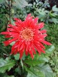 Ένα όμορφο κόκκινο λουλούδι Στοκ εικόνα με δικαίωμα ελεύθερης χρήσης