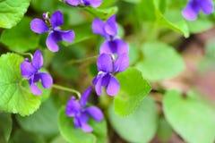 Ένα όμορφο λουλούδι άνοιξη τη δασική, πρώιμη άνοιξη στοκ φωτογραφίες
