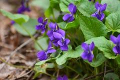 Ένα όμορφο λουλούδι άνοιξη τη δασική, πρώιμη άνοιξη στοκ εικόνα