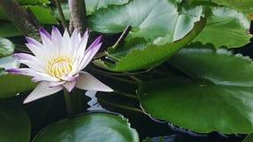 Ένα όμορφο λουλούδι λωτού Στοκ εικόνες με δικαίωμα ελεύθερης χρήσης