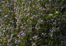 Ένα όμορφο λουλούδι στην ορεινή περιοχή του Cameron Στοκ Εικόνες