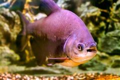 Ένα όμορφο μαύρο pacu ψαριών ενυδρείων Στοκ Εικόνες
