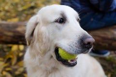 Ένα όμορφο νέο χρυσό Retriever σκυλί έτοιμο να παίξει το μπέιζ-μπώλ Κρατά τη σφαίρα στο στόμα του στοκ φωτογραφία