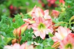 Ένα όμορφο λουλούδι της Lilly αστεριών Στοκ Εικόνες