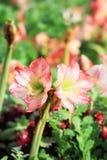 Ένα όμορφο λουλούδι της Lilly αστεριών Στοκ Φωτογραφίες