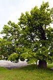 Ένα όμορφο παλαιό δέντρο Στοκ Εικόνες
