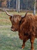 Ένα όμορφο πορτρέτο μιας αγελάδας ορεινών περιοχών Στοκ Εικόνες