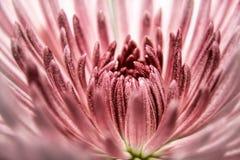 Ένα όμορφο ρόδινο λουλούδι Στοκ Φωτογραφίες