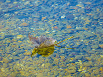 Ένα όμορφο φύλλο σε μια λίμνη Στοκ Εικόνα
