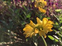 Ένα όμορφο χρυσό κίτρινο λουλούδι στοκ φωτογραφία