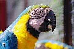 Ένα όμορφο ara παπαγάλων macaw με την κίτρινη και μπλε κινηματογράφηση σε πρώτο πλάνο φτερών Στοκ φωτογραφία με δικαίωμα ελεύθερης χρήσης
