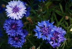Ένα όμορφο Hoverfly που αιωρείται πέρα από ένα μπλε και πορφυρό λουλούδι Στοκ Εικόνες