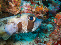 Porcupinefish Στοκ Εικόνες