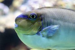 Ένα όμορφο saltwater ψάρι Στοκ Φωτογραφίες